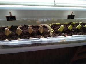 Prvý krát siate paradajky, vždy kupujeme planty. Držím si palce 😊