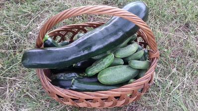 Cukiny aj uhorky plný košík 😊