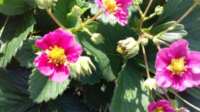 Jahôdky v ružovom kvete