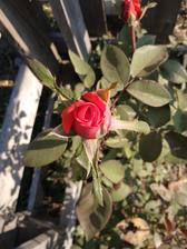 Ružičky v októbri 🌹