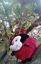pred víkendom dostala zo školy Xenka - Lienku Školienku aby s ňou strávila krásne chvíle - v piatok to začalo oberačkou jabĺk