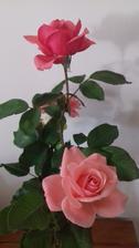 Ružičky robia aj doma radosť 🌹